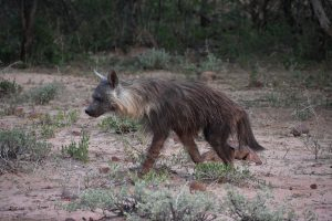 Brown Hyaena Project