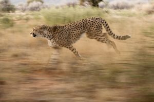 The Control of Cheetah Flies on Captive Carnivores