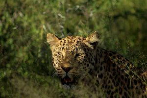 Electra – A leopards story so far…